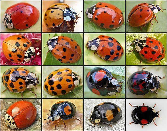 Biedronki z gatunku Harmonia axyridis mają różne odmiany barwne