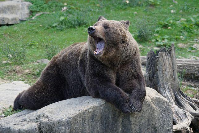 USA. Niedźwiedź zaatakował jej psy. Błyskawicznie ruszyła im z odsieczą