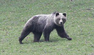 Niedźwiedzica Ingrid została zastrzelona