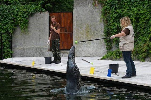 Foki wróciły do odnowionego basenu w warszawskim ZOO