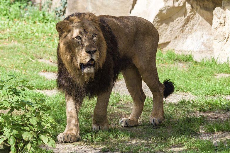Koronawirus w zoo. Lwy kaszlą i kichają