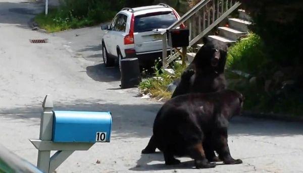 Zapasy dwóch niedźwiedzi w amerykańskim miasteczku