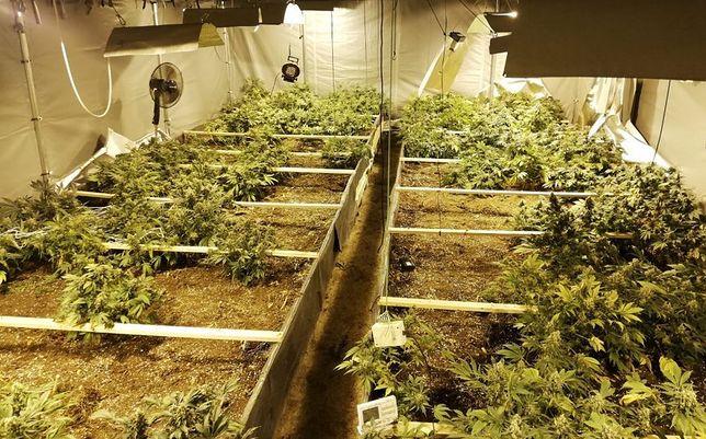 Śląskie. Policja w Dąbrowie Górniczej zatrzymała mężczyznę, który uprawiał prawie 200 nielegalnych roślin.