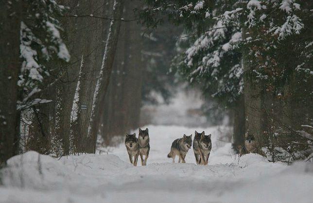 Wataha wilków w Puszczy Białowieskiej