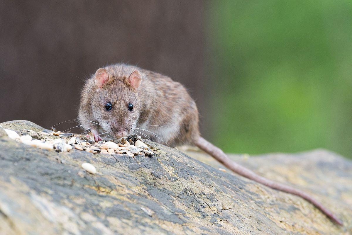 Szczury na osiedlu