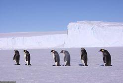 Pingwiny mogą wyginąć? Naukowcy nie mają dobrych wieści