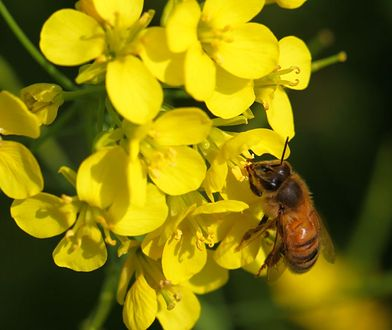 Mleczko pszczele. Jak działa i jakie ma właściwości lecznicze? Poznaj jeden z naturalnych suplementów