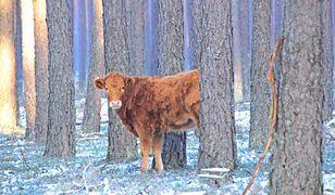 Krowa uciekinierka uwieczniona na zdjęciu przez leśniczego