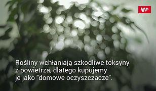 Rośliny a czyste powietrze. Popularny mit obalony