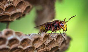 Pszczoły narażone na kontakt z pestycydami żyją dużo krócej od tych, które nie miały z tymi środkami kontaktu.