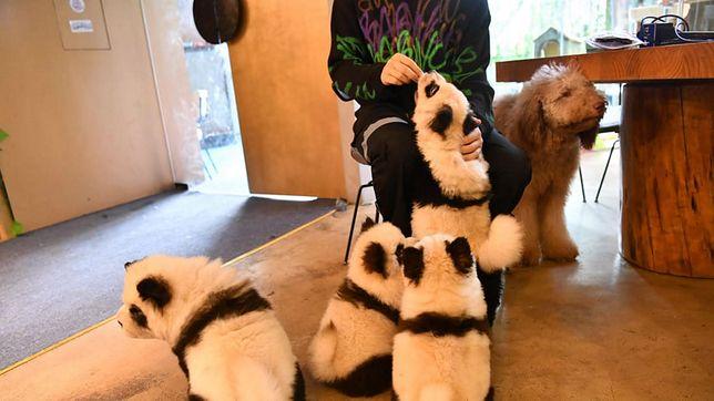 Oszukane pandy. Właściciele kawiarni chcieli mieć żywe maskotki