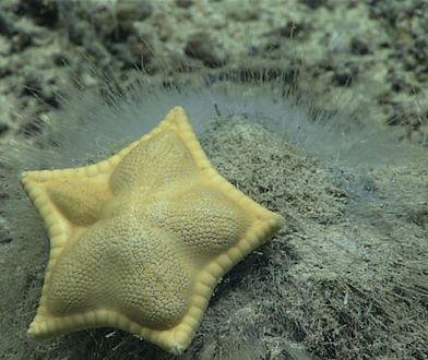 """Dzięki okrętowi Okeanos Explorer biolodzy mogą bliżej przyjrzeć się codziennemu życiu takich stworzeń, jak rozgwiazda """"ravioli"""""""