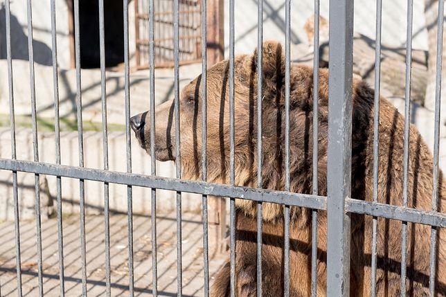 Niedźwiedzica odsiaduje wyrok z przestępcami. Spędzi w więzieniu resztę swoich dni