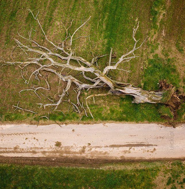 Jan Ulicki sfotografował słynny dąb wiele razy. 1 września zauważył, że drzewo runęło