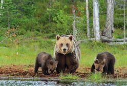 Bieszczady. Niedźwiedzia rodzina znów uwieczniona na filmie