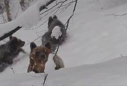 """Niedźwiedzica z młodymi szła prosto na leśniczego, krzyknął """"Nie!"""". Oto, co się stało"""
