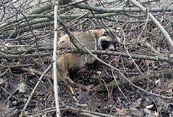 """Ekopatrol interweniował w Lasku na Kole. """"Strażnicy odłowili jenota"""""""