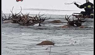 Zachodniopomorskie. Pod stadem jeleni załamał się lód. Wielu zwierząt nie udało się uratować