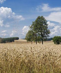 Uprawy GMO i tradycyjne. Czy możliwa jest koegzystencja?