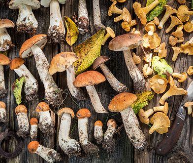 Sezon na leśne grzyby trwa jednak bardzo krótko