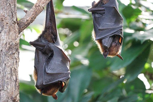 Badania dowodzą, że nietoperze zachowują dystans społeczny podczas choroby