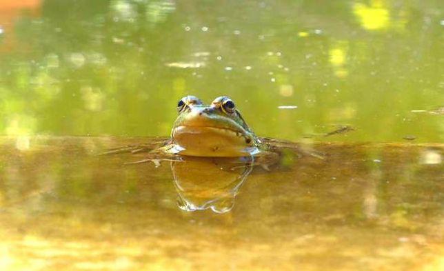 Gdańscy wolontariusze ratują żaby. Chcą chronić zagrożone gatunki płazów