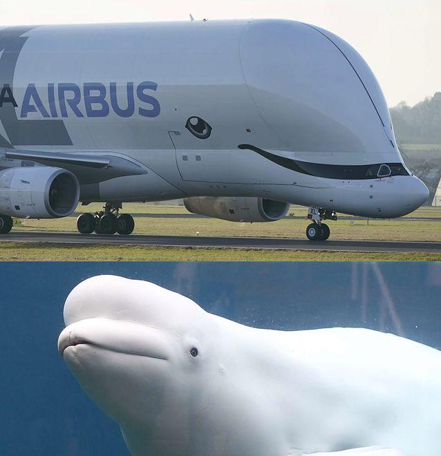 Samolot Airbus BelugaXL przeznaczony jest do transportu nadwymiarowych ładunków