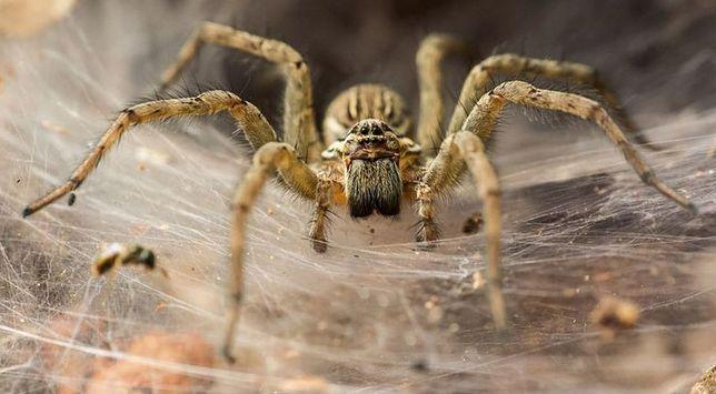 Agresywne pająki.