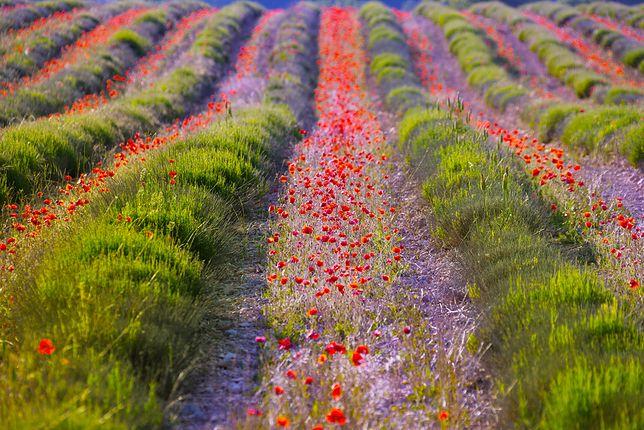 """Grasse, Francja – """"Krzemowa Dolina zapachów"""""""