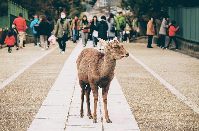Jelenie od kilku dni przemierzają ulice, parki czy place zabaw w mieście Nara