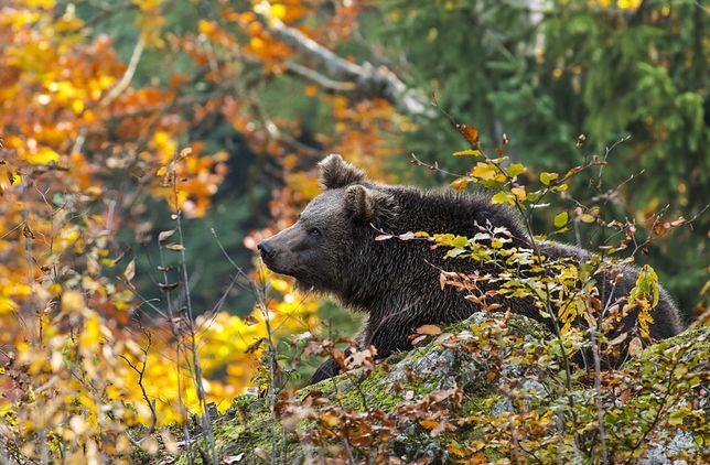 Niedźwiedź w parku w Pieninach. Ostrzeżenie dla turystów