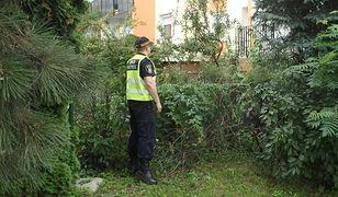 Niebezpieczny barszcz Sosnowskiego rósł przy bloku w Poznaniu