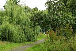 Więcej nasadzeń w miejsce wyciętych drzew. W Gdańsku przyjęto nową zieloną politykę