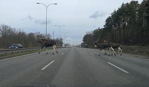 Trzy osobniki spacerowały między samochodami przez jedną z głównych arterii Białołęki
