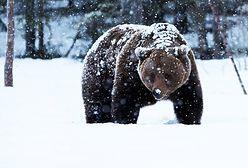Atak niedźwiedzia w Bieszczadach. Turysta cudem uniknął śmierci