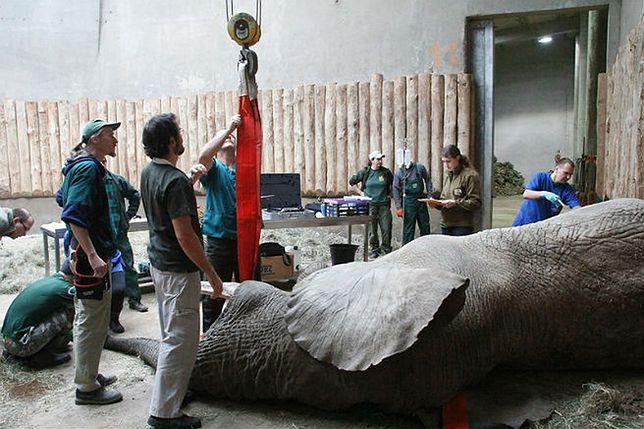 Słynnemu słoniowi z poznańskiego zoo usunięto ząb