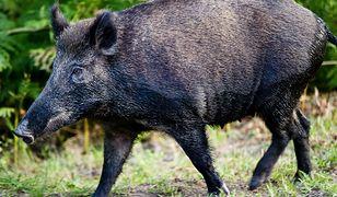 ASF, czyli afrykański pomór świń, rozprzestrzenia się w zachodniej i północnej Polsce. W lasach Trójmiasta do akcji wejdą myśliwi.