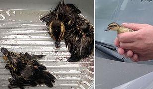"""Kierowca, strażnicy miejscy i mechanicy uratowali małe kaczuszki. """"Jedna ukryła się gdzieś w pojeździe"""""""