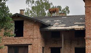 Krowa na dachu. Druhowie OSP dostali nietypowe zgłoszenie
