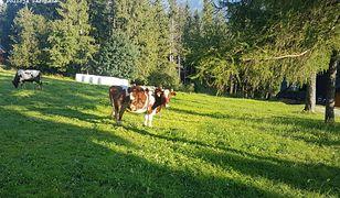 Gubałówka. Incydent z udziałem krowy. Zraniła 9-latkę