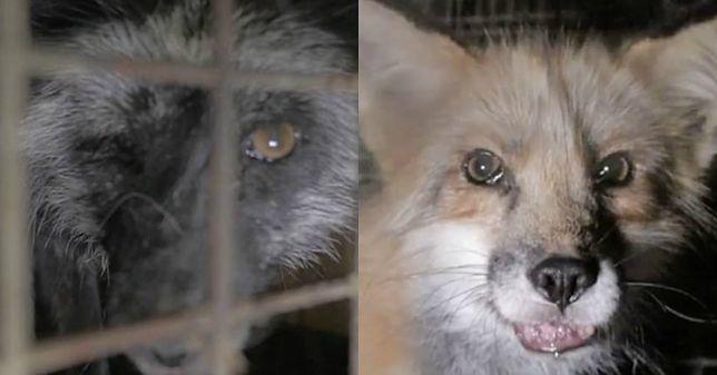 Gnijące pyski i wyłupione oczy. Brytyjska prasa pisze o szokujących warunkach w polskiej fermie lisów