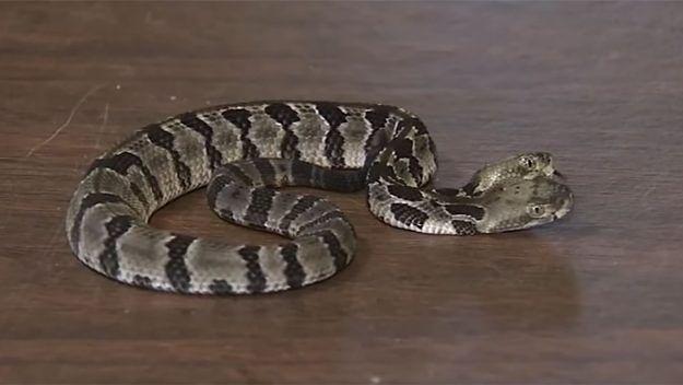 Dwugłowy wąż: Double Dave