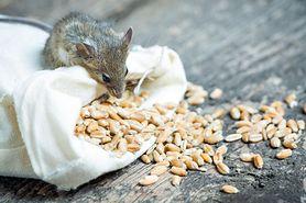 Trutka na szczury – rodzaje i działanie