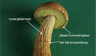 Złotak wysmukły w polskich lasach. Amerykański grzyb może wyprzeć borowiki
