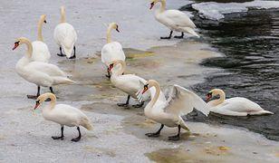 Ptasia grypa. WHO ostrzega o ryzyku przenoszenia się wirusa z człowieka na człowieka