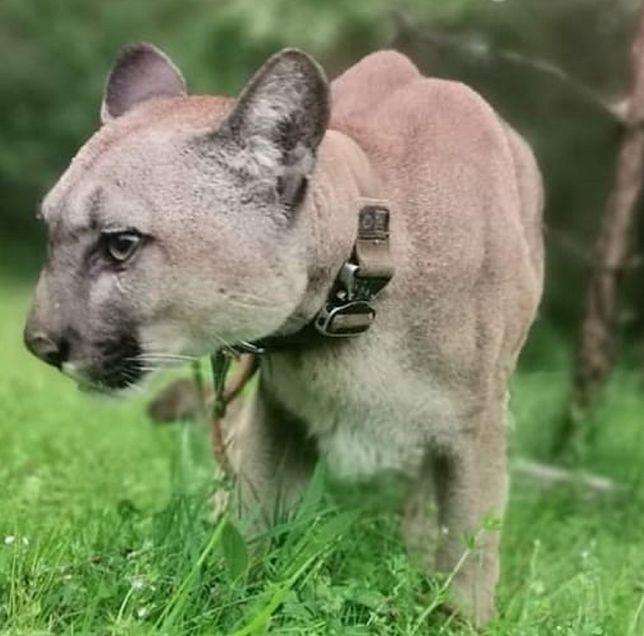 Puma Nubia z Ogrodzieńca
