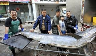 Chińscy rybacy złowili olbrzymiego miecznika