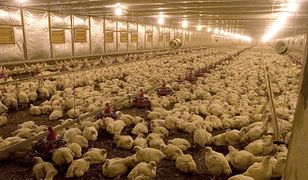 NIK ustalił, że ponad 80 proc. producentów drobiu używa antybiotyków
