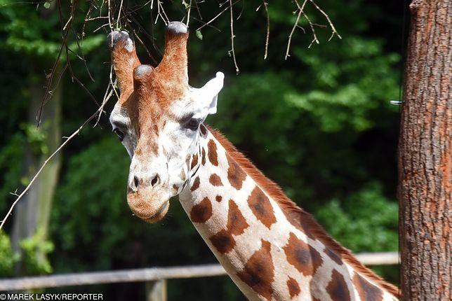 W poznańskim zoo umarła kolejna żyrafa.