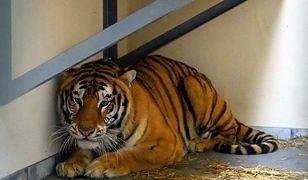 Jeden z siedmiu tygrysów, których transport zatrzymano na polsko-białoruskiej granicy